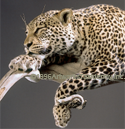 slleopard